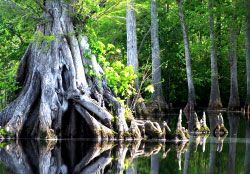 Great Dismal Swamp National Wildlife Refuge - View of Swamp